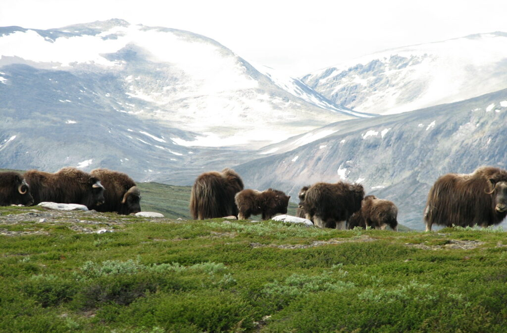 Musk ox safari in Dovrefjell National Park