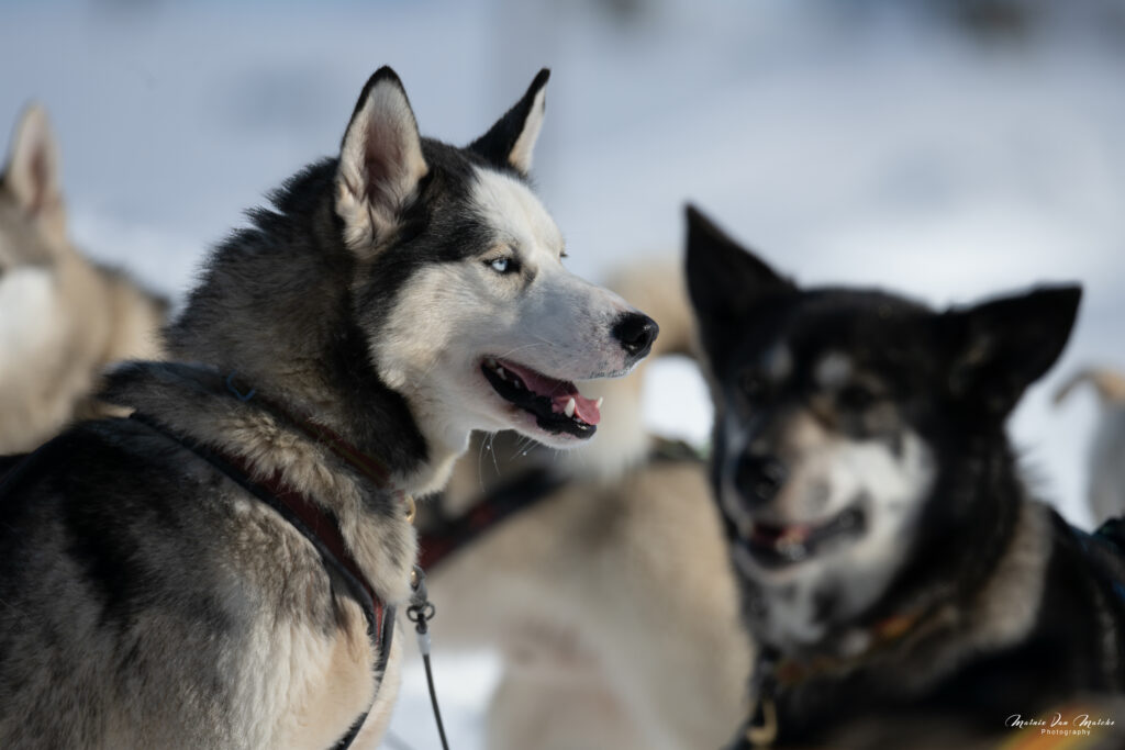 Rondane River Lodge dogsledding