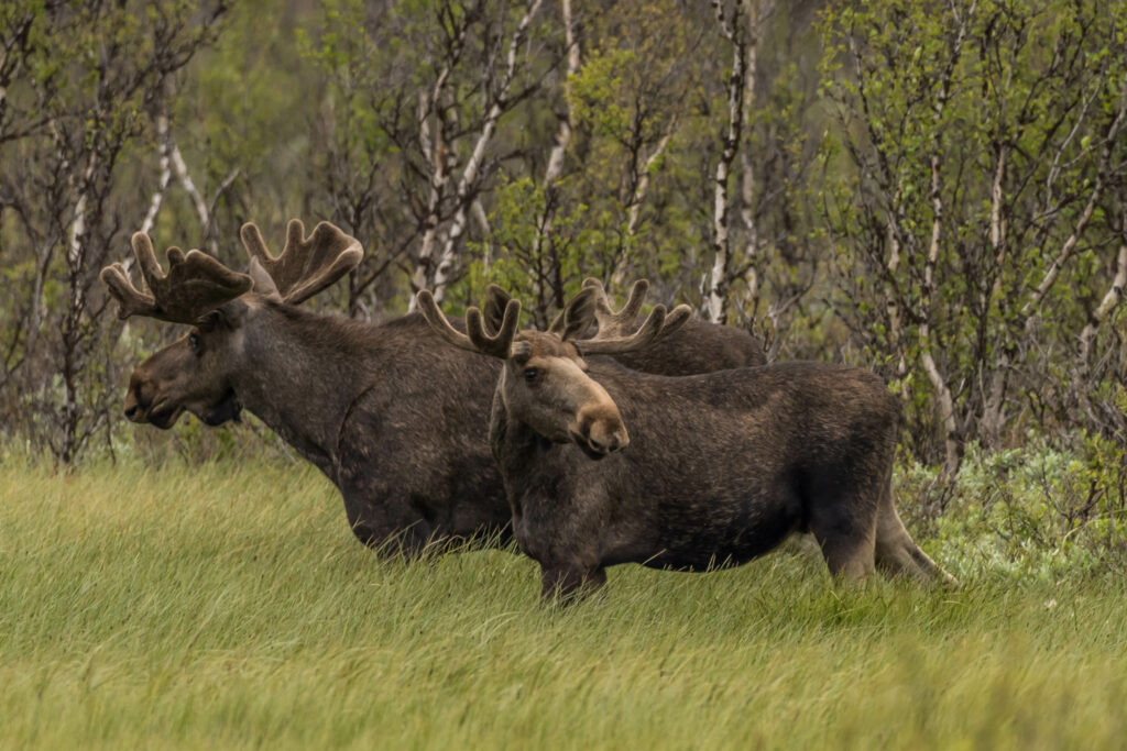 Rondane River Lodge moose safari