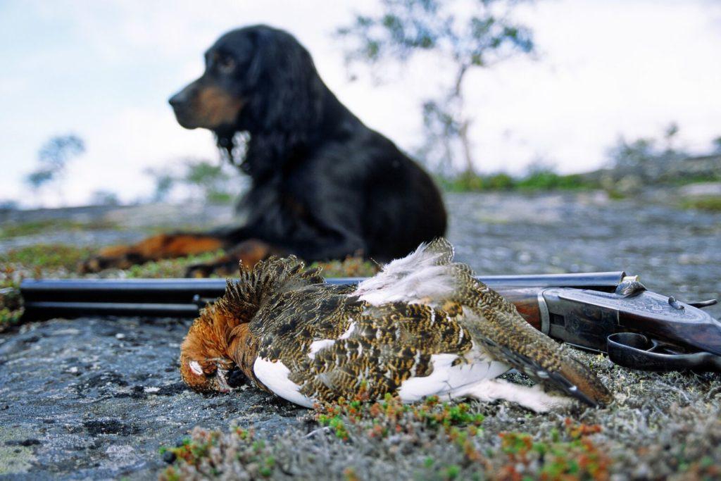 large-Gordonsetter dog with grouse-Anders Gjengedal - VisitNorway.com